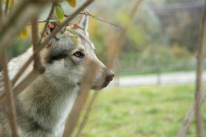 """Cucciolata """"T"""" Legend La Favola del Lupo x Narantuya Wolf Lupi di Montemorello"""