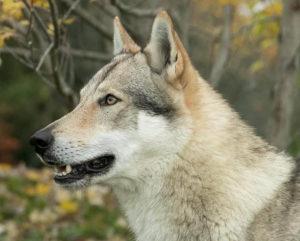 Legend Wolf La Favola del Lupo di Montemorello