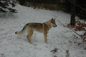 """La Cucciolata """"V"""" Enea x Narantuya Wolf Lupi di Montemorello"""