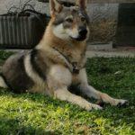 Akiryon Wolf Lupi di Montemorello