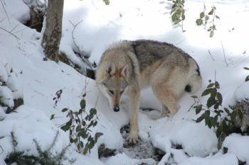 """Cucciolata """"U"""" Foggy Wolf Lupi di Montemorello x Enea"""