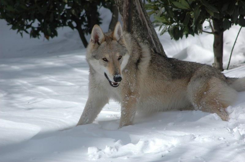 Foggy Wolf Lupi di Montemorello