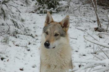 Ginger Wolf Lupi di Montemorello