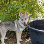 Vlknijus Wolf Lupi di Montemorello
