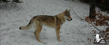 Narantuya Wolf Lupi di Montemorello